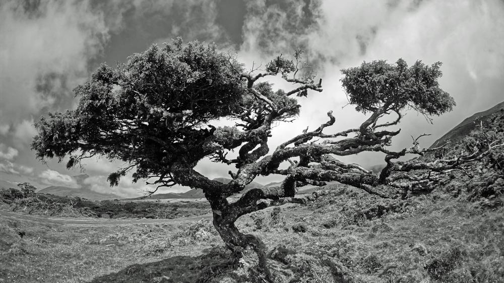 Heidebaum auf Pico