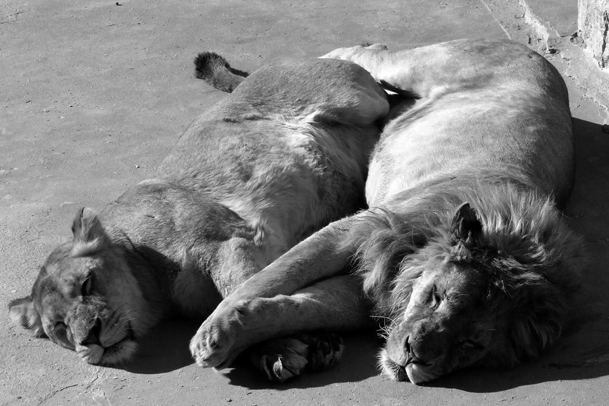 Löwen im Zoo